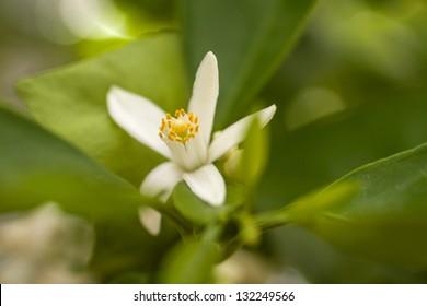 Close up view of a Tangelo orange blossom
