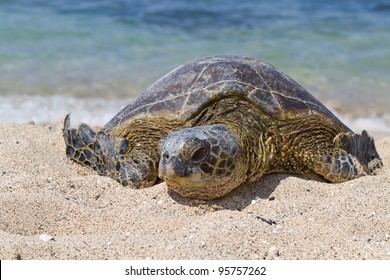 Close up view of this young Green Sea Turtle having a mid day nap on the beach
