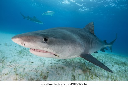 Close up view of a Tiger shark swimming in shallow water during a shark dive in the Bahamas, with a fish hook in it's mouth.