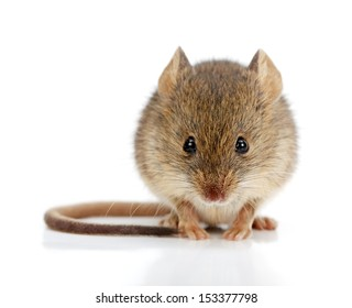 Close view of a tiny house mouse (Mus musculus)