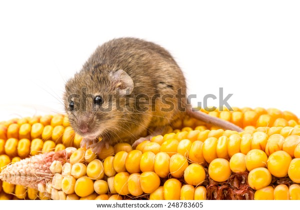 Close view of a tiny house mouse (Mus musculus) on corn cob