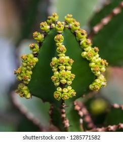 Close view of Transvaal candelabra tree, or bushveld candelabra euphorbia (Euphorbia cooperi)
