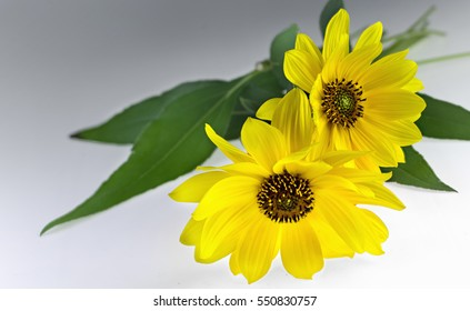 Close view of two Arnica herbal blossoms