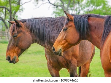 Up close view of two brown horses beside one another in a field