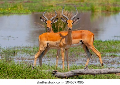 Close view of a two male impalas (Aepyceros melampus) with characteristic lyre-shaped horns, Moremi National Reserve, Okavango Delta, Botswana, Africa.