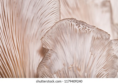 Close up view of the underside of an Oyster mushroom. Straight lines, and triangles create a mesmerizing pattern.