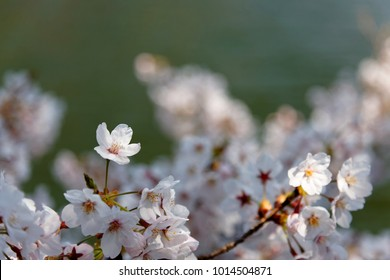 Close up view of vibrant cherry blossoms on a branch of Sakura tree under bright spring sunshine  lovely pink Sakura flowers ( cherry blossoms ) with a blurred background of blossoming boughs