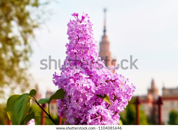 Close up view of vibrant pink lilac flowers on the background of main spire of Moscow state university