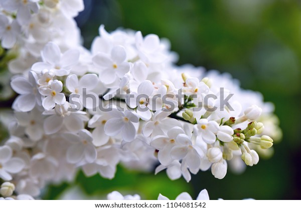 Close up view of vibrant white lilac flowers