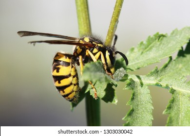 Close view of a wasp