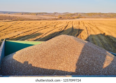 Close up view of wheat in a tractor-trailer during harvesting Wheat grains as agricultural background. Wheat grains texture. Close up top view. Suitable as a backdrop for the projects on art