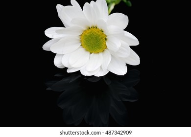close view of white chamomile on black background