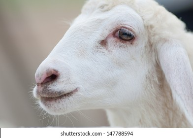 close up view of white goat head.