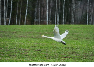 close up view of the Whooper swan (Cygnus cygnus) in Latvia