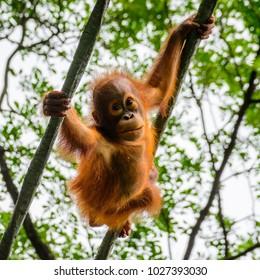 Close up view of wild little smiling Borneo Orangutan (Pongo pygmaeus) swinging in tree in natural habitat background