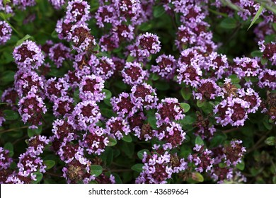 Close view of wilde thyme