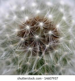 Close view of a wind dandelion