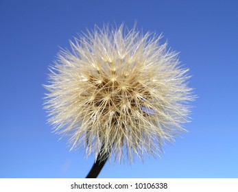 Close view of a wind dandelion ready to be blowed away