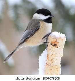 Close- up view of a winter Black- capped Chickadee on a snowy birch stump.