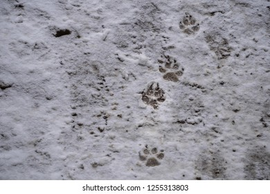Close view of wolf tracks in fresh snow.