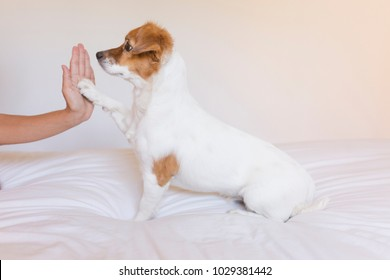 close up view of a woman hand high five with cute small dog over white background. Dog is sitting on bed. Daytime, pets indoors, lifestyle