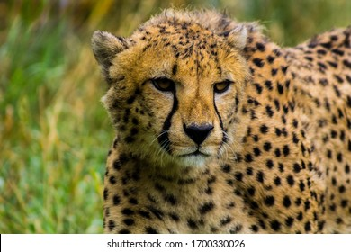 Close up view of a wonderful Cheetah on a beautiful afternoon, Acinonyx jubatus. Face of a Cheetah while walking in search of something new.