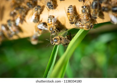 Close up view of the working bees on honey cells, Fresh honey in comb and working bees, France