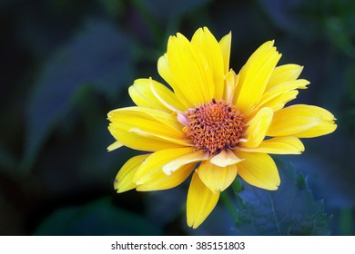 Close view of yellow Arnica herb  blossom