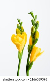 close up view of yellow fresia flowers isolated on white