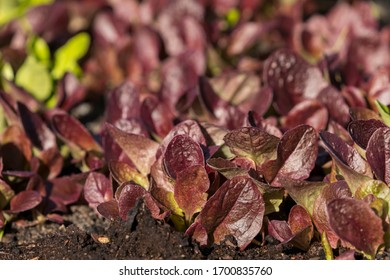 close up view of young red salad plants