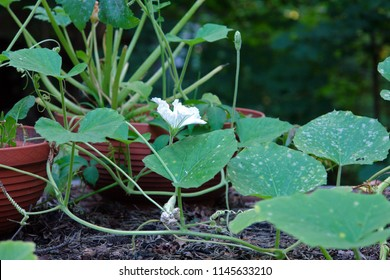 Close up of the vine with blooming white flower of calabash, bottle gourd, or white-flowered gourd, Lagenaria siceraria. Poland, Europe