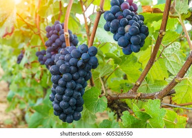 Close up vine grapes in champagne region in autumn harvest, Reims, France.