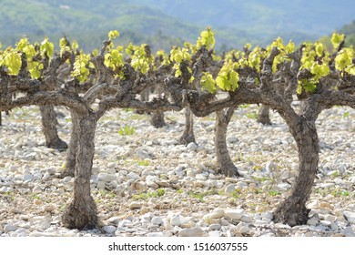 Close up of vines with young leaves, on silex soil. Spring in a vineyard in may. Terroir of Provence, in France.