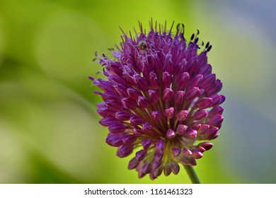 Close up of a violet allium flower on a blurry green background