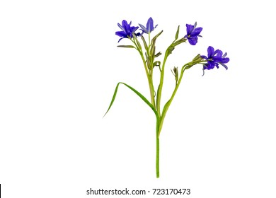 Close up violet flower Monochoria vaginalis (Burm.f.) isolated on white background.Saved with clipping path.