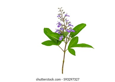 Close up violet flower Vitex trifolia Linn or Indian Privet is herb in Thailand,isolated on white background.Saved with clipping path.