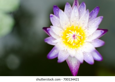 close up of violet lotus in top view