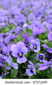 Close up of violet pansy