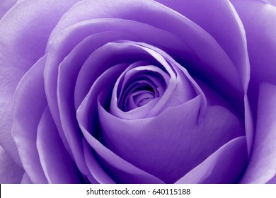 close up of violet rose petals