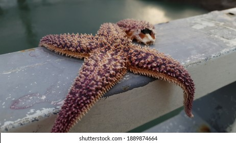 Close up of a violet wild 'North Pacific seastar' against a bright nature background
