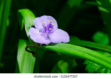 Close up of a Virginia Spiderwort flower.