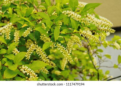 Virginia Sweetspire Shrub Images Stock Photos Vectors Shutterstock,Rotel Dip Can