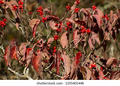 Close up of vivdly colorful Dogwood tree leaves and berries in the autumn sun