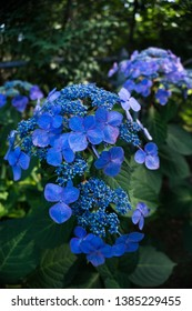 Close up vivid blue lacecap hydrangea, hydrangea macrophylla summer flowering shrub