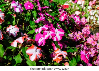 Close up of vivid pink, red and white impatiens walleriana flowers in a sunny summer garden, beautiful outdoor floral background photographed with soft focus