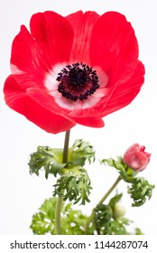 Close up vivid red anemone flower on white background