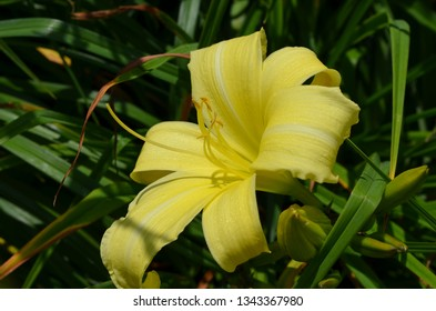 Close up of a vivid yellow lily flower, Lilium candidum, and little bees in a garden in a sunny spring day with blurred green background