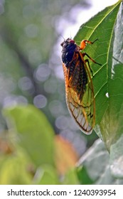 Close up of a vividly colored, 17 year adult cicada with Intricate, transparent Wings