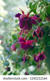 Close up of a vividly colorful, hanging fushia plant with red and purple flowers dangling their pistols and stamens attractively to hopefully be pollinated in summer
