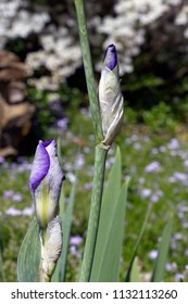 Close up of a vividly colorful, purple iris flower buds and stems with a field of wildflowers behind them